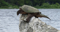 Rocky Lake snapping turtle