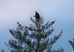 Bald Eagle atop a pine tree