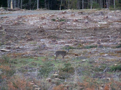 Whitetail deer in the field below #7