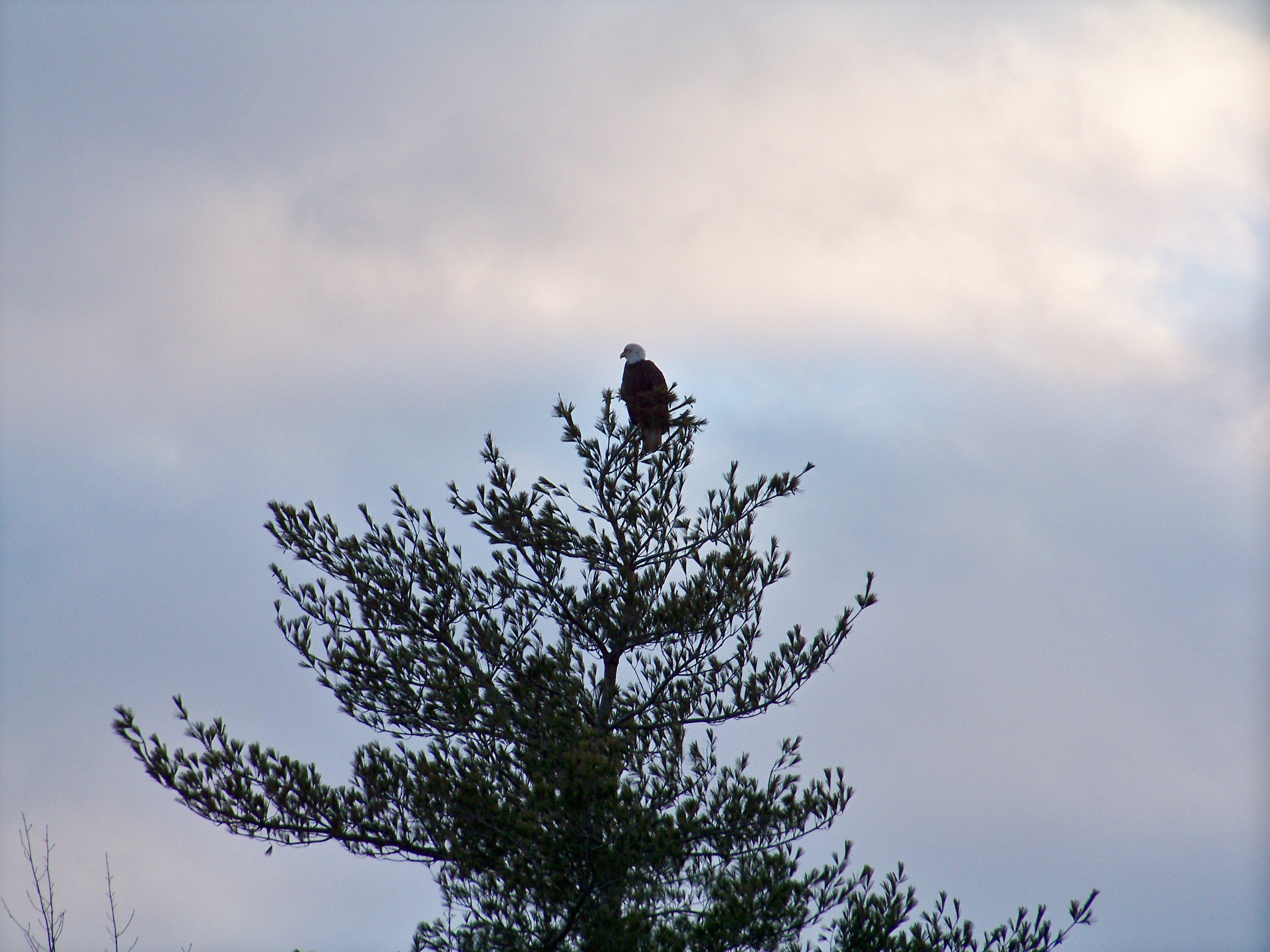 Bald Eagle by the pond