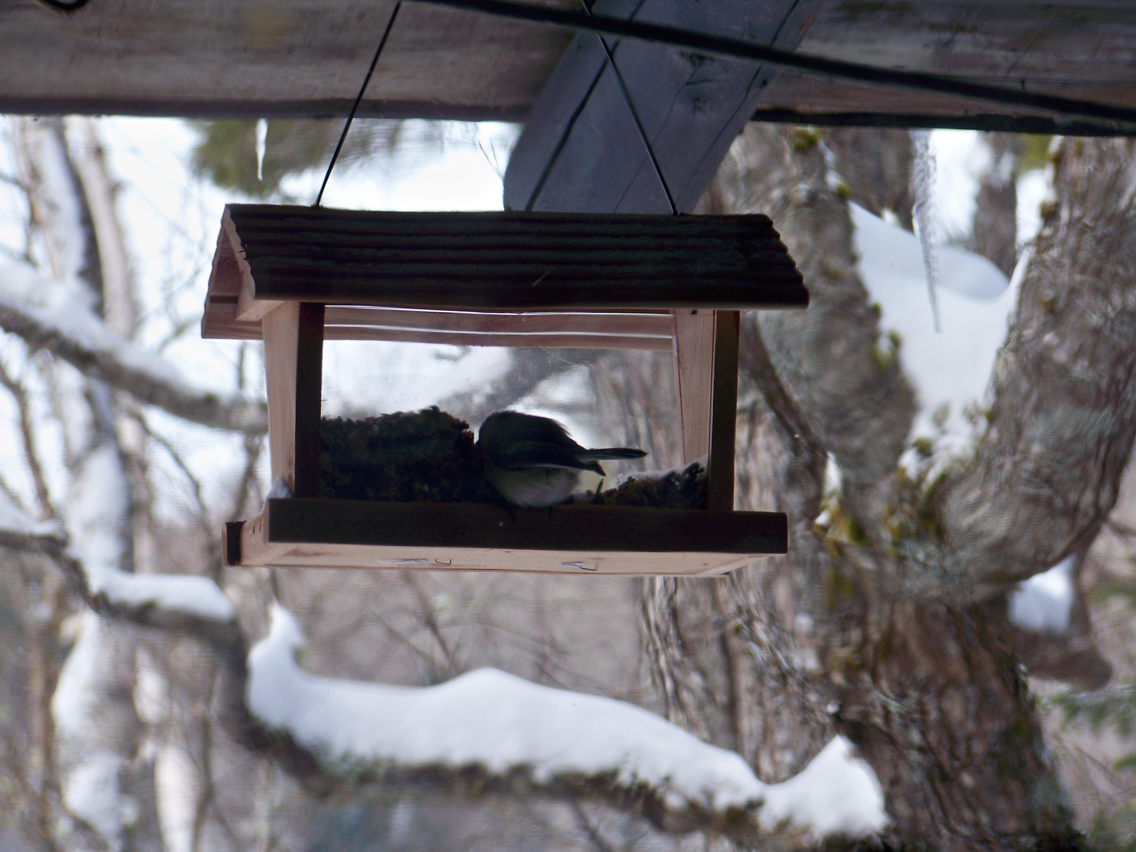 February chickadee in the feeder