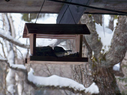 February chickadee in the feeder