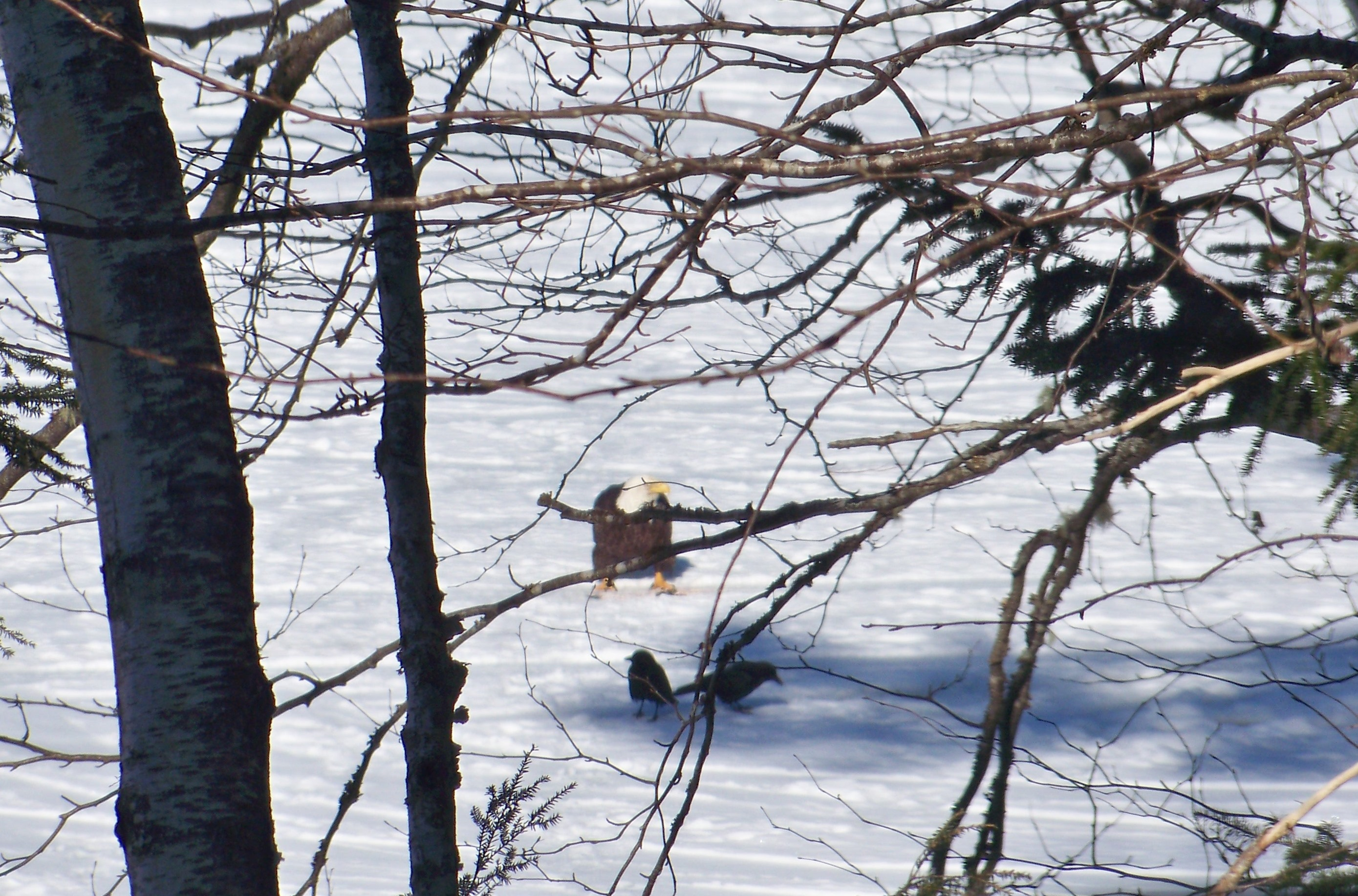 Bald Eagle enjoying fish remains