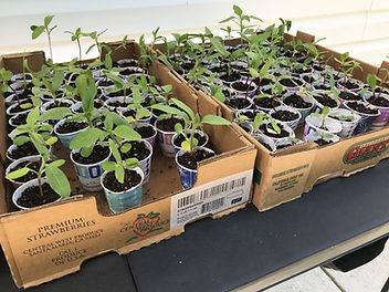 sunflower seedlings.jpg