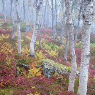 Birches in the mist