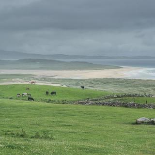 West coast cows