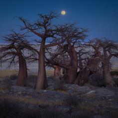 Baobab moon