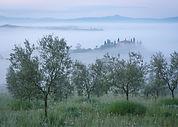 Belvedere misty olive grove.jpg