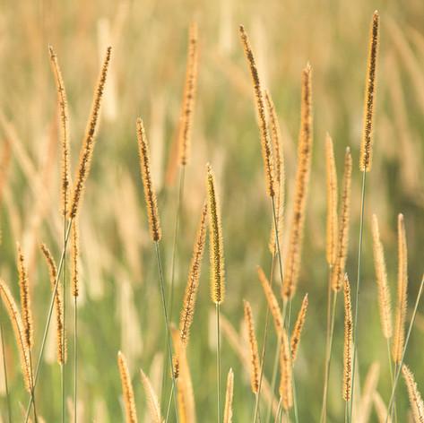 In praise of grass
