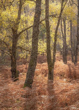 Backlit birches 870.jpg