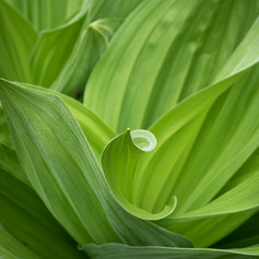 Corn lilies
