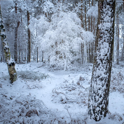 Ghost birch