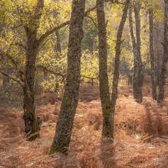 Rannoch birches