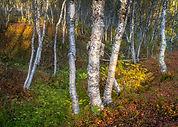 Norwegian wood evening-2.jpg