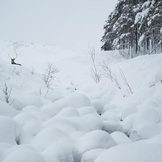 Rannoch deer