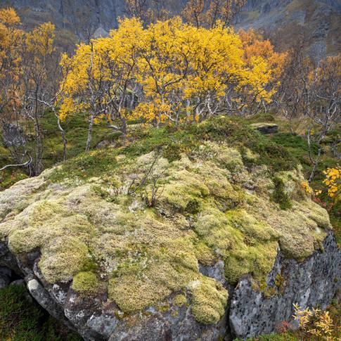 A crown of birches.jpg