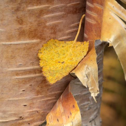 Birch peel and leaf.jpg