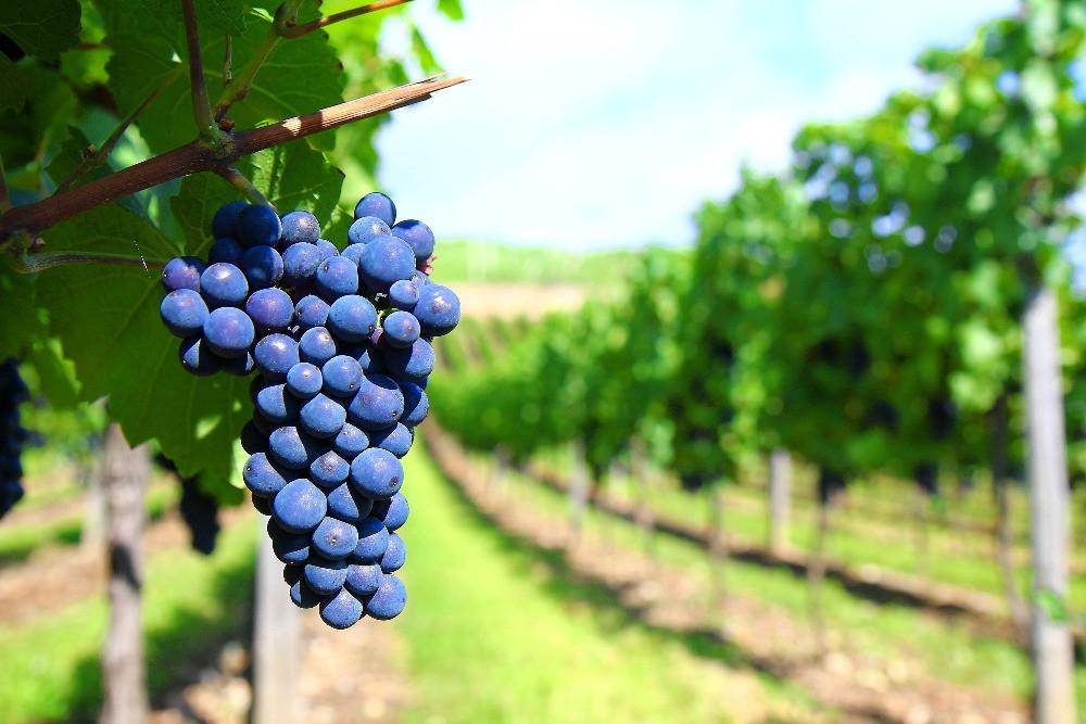 Os vinhos de Cabernet Sauvignon são famosos pela intensidade de taninos e acidez (Imagem: reprodução)
