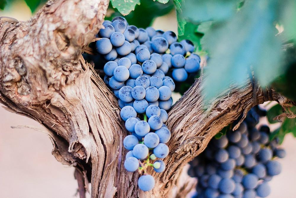 Os polifenóis, mais presentes nas uvas tintas, ajudam o sistema imune