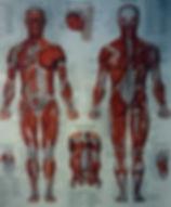 workout schedule, human muscle anatomy chart