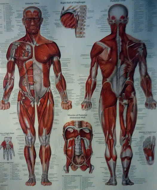 workout schedule, human muscle anatomy chart