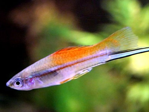 Class 16 - Xiphophorus sp. (Domestic & Wild Type)