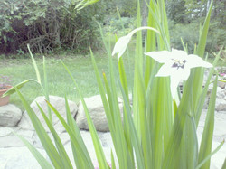 Orchid Gladiolus bulbs