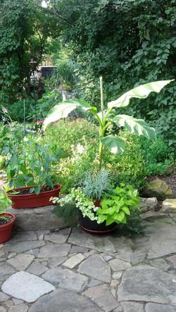 Banana Plant, patio pots