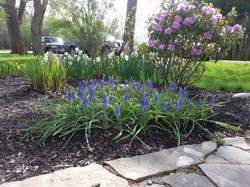 Spring Bulbs, grape hyacinths