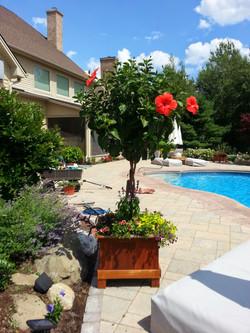 Hibiscus braided tree form, poolside