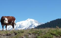 Vache sur mont blanc