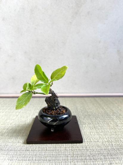 093 ツルマサキ 沈壽官 袋式