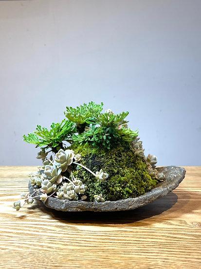 085 岩ヒバ・子持ちレンゲ草 / 変り鉢