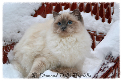 blue colorpoint ragdoll cica