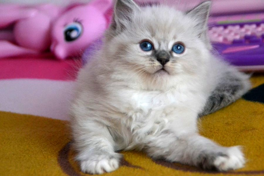 Diamond Dolls Tina-Blue lynx mitted