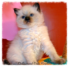 seal colorpoint ragdoll kiscica