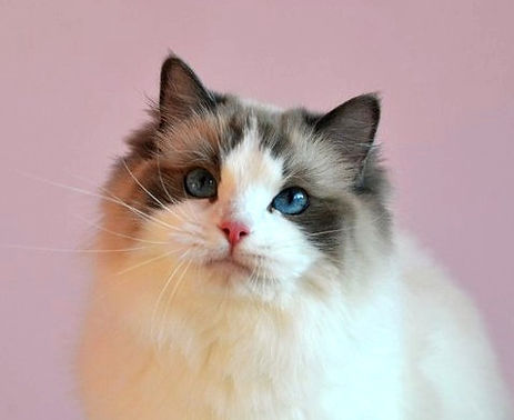 seal bicolor ragdoll female