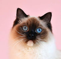 blue colorpoint ragdoll