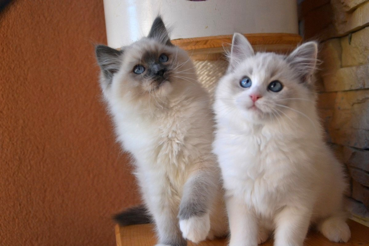 Diamond Dolls Tenesse-Blue mitted