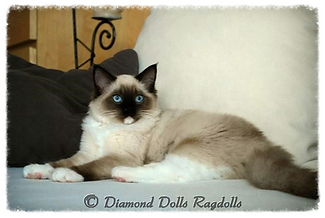 seal mitted ragdoll