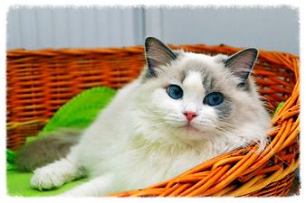 blue bicolor ragdoll cica