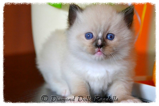 seal mitted with a blaze ragdoll