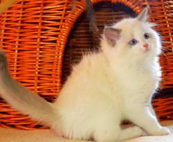 ADAMO JR- Blue bicolor