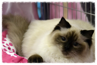 seal colorpoint ragdoll cica