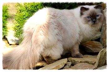blue colorpoint ragdoll macskák
