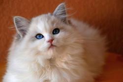 Dream Come True-blue lynx bicolor
