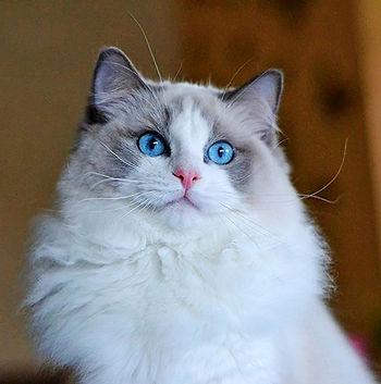 seal bicolor ragdoll macska