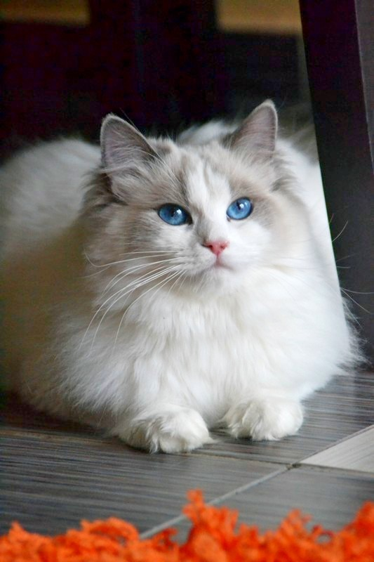 Ultraviolet-blue bicolor