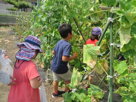 夏のお野菜 収穫体験!!