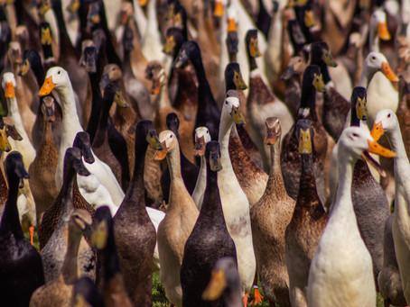 The Duck Coalition declares war on Rainbow Nation
